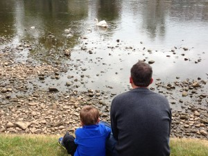 My son and I watching a swan with her new brood.